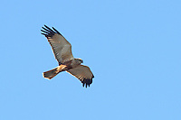 Rohrweihe, Rohr-Weihe, Flug, Flugbild, fliegend, Weihe, Weihen, Circus aeruginosus, Western Marsh-harrier, Eurasian Marsh-harrier, Marsh harrier, flight