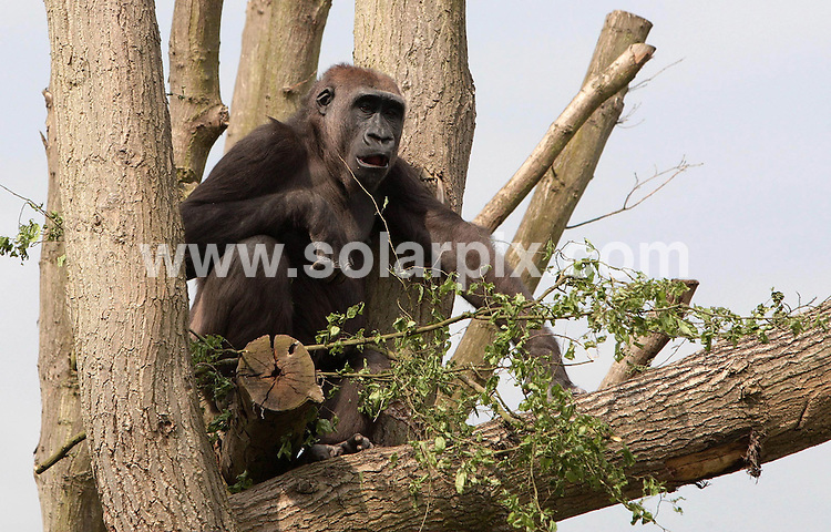 **ALL ROUND PICTURES FROM SOLARPIX.COM**.**NO UK NEWSPAPER PUBLICATION **UK MAGAZINE & SUPPLEMENT PUBLICATION ONLY** AND NO PUBLICATION IN FRANCE, SCANDINAVIA, AUSTRALIA AND GERMANY** .Bobby the silverback gorilla has a new love interest at London Zoo. .Mjukuu or Jookie as she's been nicknamed is now a permanent resident of London Zoos Gorilla Kingdom and is proving a hit with the 25 year old male gorilla..This pic: Jookie  .JOB REF:6499-SFE       DATE:23_05_08 .**MUST CREDIT SOLARPIX.COM OR DOUBLE FEE WILL BE CHARGED* *UNDER NO CIRCUMSTANCES IS THIS IMAGE TO BE REPRODUCED FOR ANY ONLINE EDITION WITHOUT PRIOR PERMISSION*