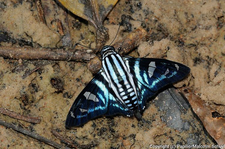 Fallax Skipper Butterfly (Jemadia fallax) resting on sandy ground, Alta Floresta, Brazil.