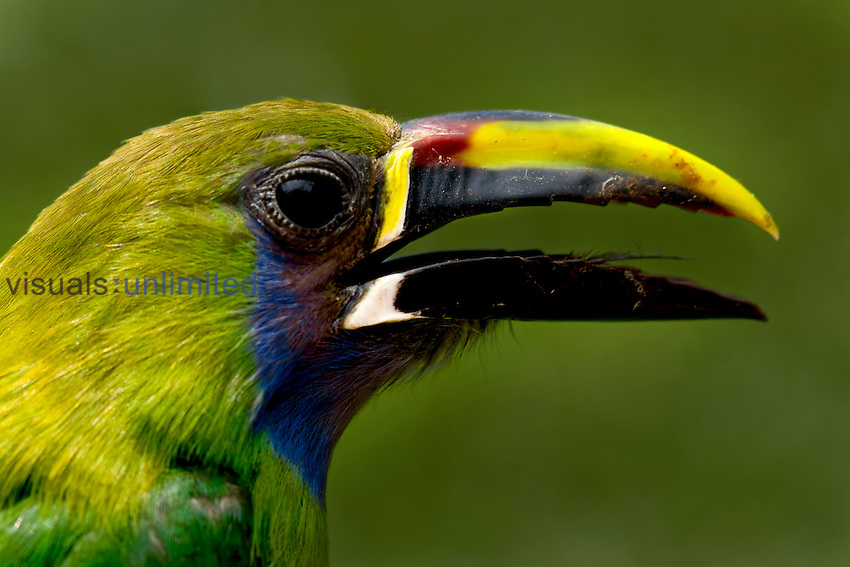 Emerald Toucanet head, Costa Rica