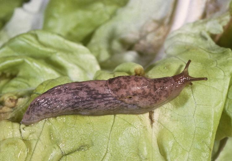 Netted Slug - Deroceras reticulatum