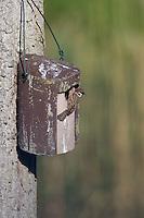 Feldspatz, Feld-Spatz, Feldsperling, Feld-Sperling, am Nistkasten, Spatz, Spatzen, Sperling, Passer montanus, tree sparrow