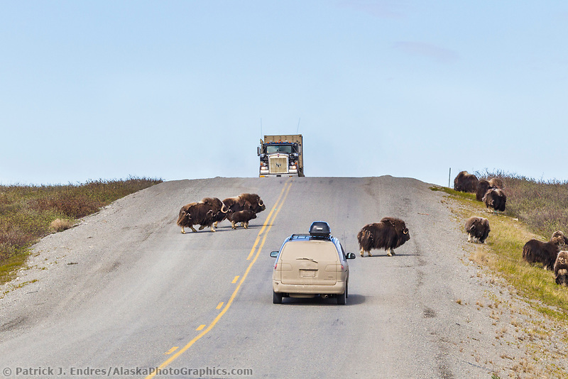A herd of musk ox crossing the James Dalton highway with vehicles in the road, arctic, Alaska.
