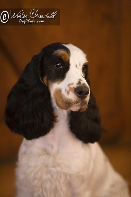English Cocker Spaniel<br /> <br /> <br /> Shopping cart has 3 Tabs:<br /> <br /> 1) Rights-Managed downloads for Commercial Use<br /> <br /> 2) Print sizes from wallet to 20x30<br /> <br /> 3) Merchandise items like T-shirts and refrigerator magnets