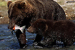 Grizzly bear and cub fishing in Alaska