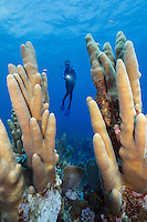 TR4442-D. Pillar Coral (Dendrogyra cylindrus), and scuba diver (model released). A colony can grown to 10 feet tall and 5 feet in diameter. Cayman Islands, Caribbean Sea.<br /> Photo Copyright &copy; Brandon Cole. All rights reserved worldwide.  www.brandoncole.com