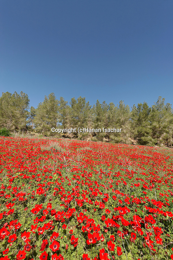 Israel, the Shephelah. Springtime in Amatzia forest