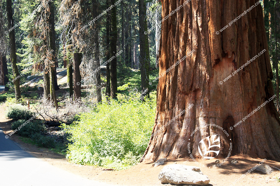 Stock photo: Giant gorgeous bark of a giant sequoia tree in the Sequoia national park in California US.