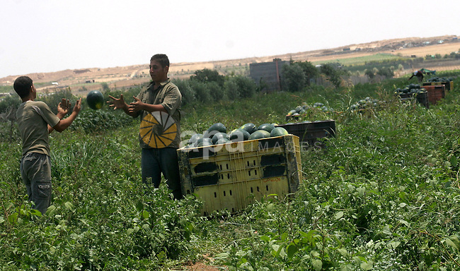 Palestinian farmers collect a watermelon crop from their fields east of Gaza  City, close to the border fence with Israel, on June 9, 2010. Photo by Ashraf Amra