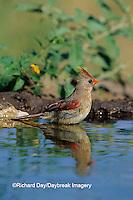 01530-11120 Northern Cardinal (Cardinalis cardinalis) female bathing  Starr Co.  TX