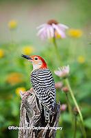 01196-03411 Red-bellied Woodpecker (Melanerpes carolinus) male in flower garden, Marion County, IL