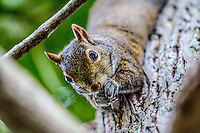 A squirrel in a Holly Hill, Fl backyard in summer. (Photo by Brian Cleary/ www.bcpix.com )