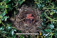 01530-04210 Northern Cardinal (Cardinalis cardinalis) nest with 3 nestlings   IL