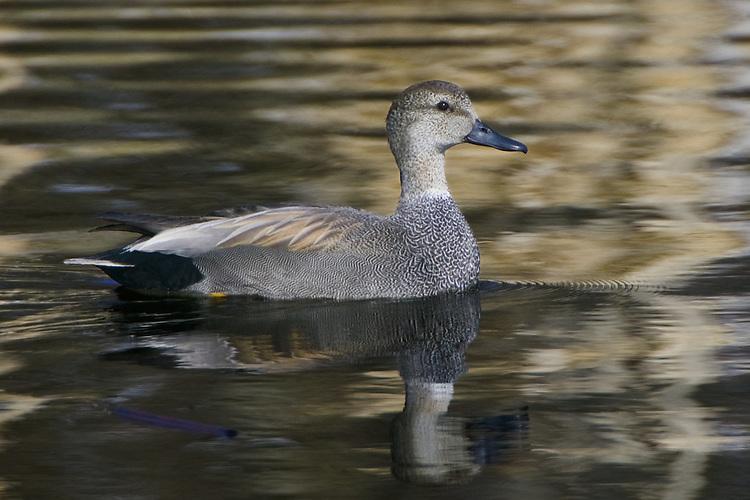 Gadwall swimming on a golden pond