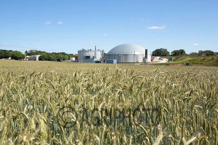 Rye being grown for use in an anaerobic digestion plant<br /> Picture Tim Scrivener 07850 303986