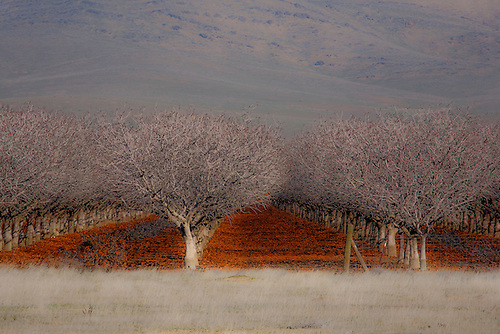 Rows and Rows of Almond Trees in the San Joaquin Valley, California