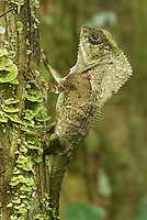 .Casque-headed Basilisk, Old Man Lizard or Helmeted Iguana (Corytophanes cristatus), adult vlimbing, Cahuita National Park, Costa Rica