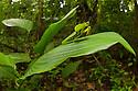 Leaf-mimicking Mantis {Choeradodis rhombicollis} in rainforest habitat, Osa Peninsula, Costa Rica. Corcovado National Park, Osa Peninsula, Costa Rica, May.
