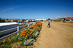 California poppies along the path at the flower fields