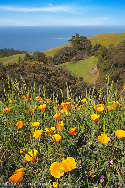 Pacific Coast Poppies
