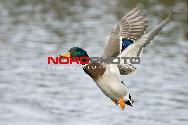 Stockente (Anas platyrhynchos), Erpel, Prachtkleid, Ente, <br /> Vogel, fliegend, FŁgel schlagend, Federn, Wasser, rufend, quakend, schnatternd <br /> <br /> <br /> Foto: &copy; nordphoto <br /> <br />  *** Local Caption ***