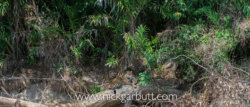 Jaguar (Panthera onca palustris) female with cub (estimated age 5 months), resting on a fallen tree over the Cuiaba River, Porto Jofre, northern Pantanal, Mato Grosso State, Brazil, South America.