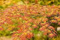 maple, Arnold Arboretum, fall, autumn, Boston, MA