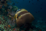 Batfish cleaning station, Orbic batfish, Platax orbicularis, Maldives