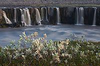 Iceland; Jokulsargljufur; Salix lanata; Selfoss; Thingeyjarsyslur; Woolly Willow