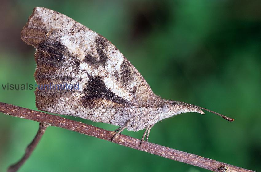 Snout Butterfly (Libytheana bachmanii), Texas, USA.