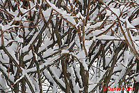 """1229-07ss  Camouflaged Black-capped Chickadee """"In Winter on Bush"""" - Parus atricapillus © David Kuhn"""