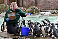 Humbolt penguins at London Zoo stocktake<br /> Annual stocktake of every creature in the zoo, spanning 850 species, postponed from January after a fire in just before Christmas last year, in which a number of animals died, at London Zoo <br /> London Zoo Stocktake photocall, London, England on February 07, 2018.<br /> CAP/JOR<br /> &copy;JOR/Capital Pictures