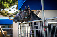DEL MAR, CA - JULY 29: Roadster in his pen at Del Mar on July 28, 2018 in Del Mar, California.(Photo by Alex Evers/Eclipse Sportswire)