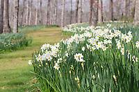Beautiful daffodils grown around a curved lane in Gibbs Garden, Georgia USA.