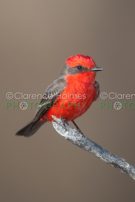 A brilliant male Vermilion Flycatcher (Pyrocephalus rubinus) perched on a low branch at the Buenos Aires National Wildlife Refuge near Arivaca, Arizona.