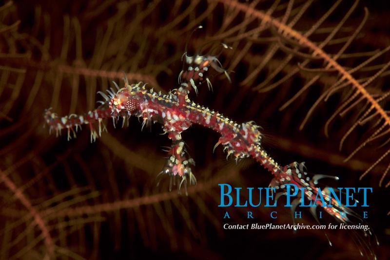 Flamboyant ghost pipefish, Solenostomus sp., hides in crinoid, Tulamben beach, Bali, Indonesia, Indian Ocean