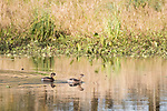Damon, Texas; a mating pair of Pied-billed Grebes swimming on the surface of the slough in late afternoon sunlight