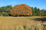 Autumn colours trees in countryside, Sutton, Suffolk Sandlings heathland, England, UK