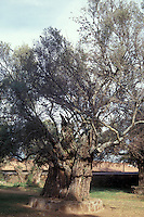 Ancient olive trees  on the grounds of the Ex Convento de San Francisco in Tzintzuntzan on Lake Patzcuaro, Michoacan, Mexico. These trees are said to have been planted by Vasco de Quiroga in the 16th century and are considered to be the oldest olive trees in the Americas. Bishop Vasco de Quiroga established village cooperatives established on the Utopian ideas of Sit Thomas More.