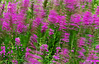 Fireweed blossoms blow in the wind on Kodiak Island, Alaska