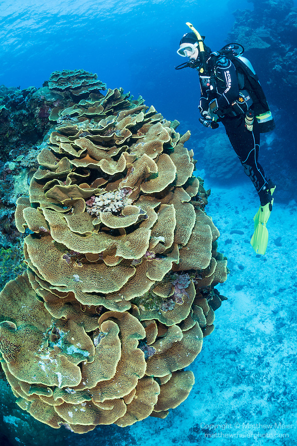 Great Barrier Reef, Australia; a scuba diver hovering above a massive hard coral formation