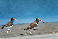 American oystercatcher, Haematopus palliatus, feeding on a snail, Baja California, Mexico, Gulf of California, aka Sea of Cortez, Pacific Ocean