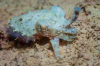 Stumpy Spined Cuttlefish, Sepia bandensis, Com Pier, Com, Timor Leste or East Timor, Strait of Wetar, Sawu Sea, Indian Ocean