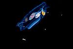Behavior-Plankton-pelagic