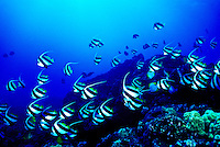 Orangeband Surgeonfishes ( Acanthurus olivaceus) swim in large schools over the coral reef to feed. Hawaiian name is ( na ena e ).