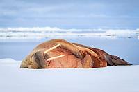 Atlantic walrus, Odobenus rosmarus rosmarus, resting, sleeping on ice floe, Lagoya, Svalbard, Norway, Atlantic Ocean