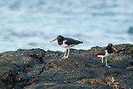 American Oystercatchers (Haematopus palliatus) seeking for food in the rocks at Isla Pacheca shore. Las Perlas Archipelago, Panama province, Panama, Central America.
