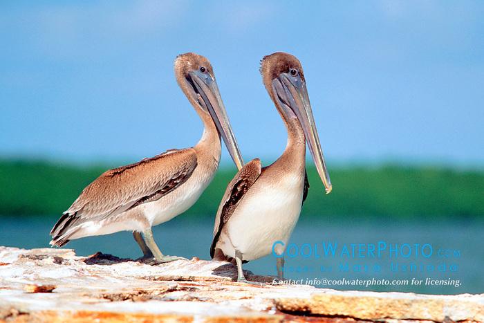 juvenile brown pelicans, .Pelecanus occidentalis, .John Pennekamp Coral Reef State Park.Key Largo, Florida