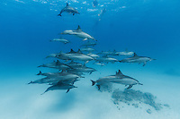 RZ0521-D. people snorkeling with Spinner Dolphins (Stenella longirostris), pod swimming together in shallow water near offshore coral reef. Egypt, Red Sea.<br /> Photo Copyright &copy; Brandon Cole. All rights reserved worldwide.  www.brandoncole.com