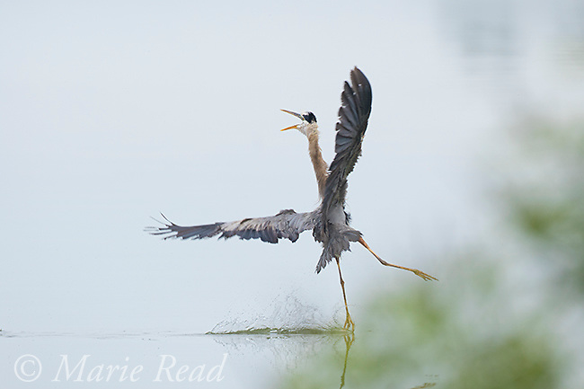 Great Blue Heron (Ardea herodias) taking evasive action when attacked by Osprey (not visible), Salt Pt. Cayuga Lake, New York, USA